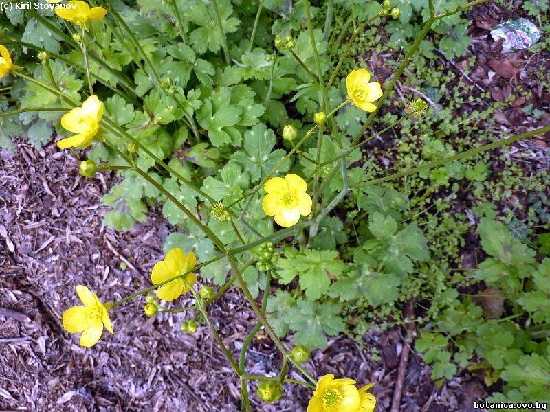 Ranunculus sprunerianus