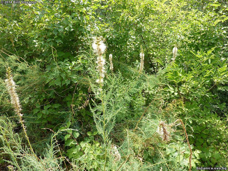 Myricaria germanica