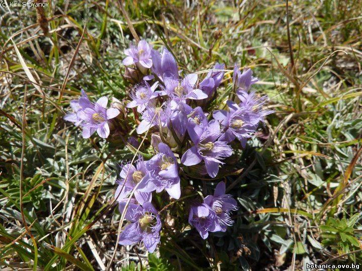 Gentianella bulgarica