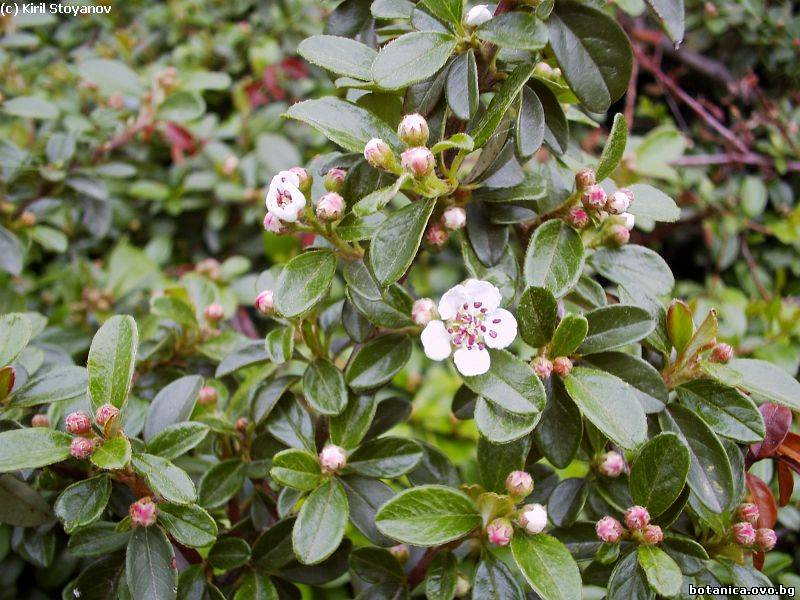 Cotoneaster horyzontalis