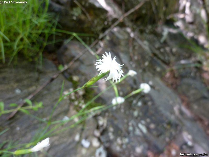 Dianthus kitaibelii