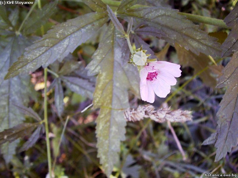 Althaea cannabina