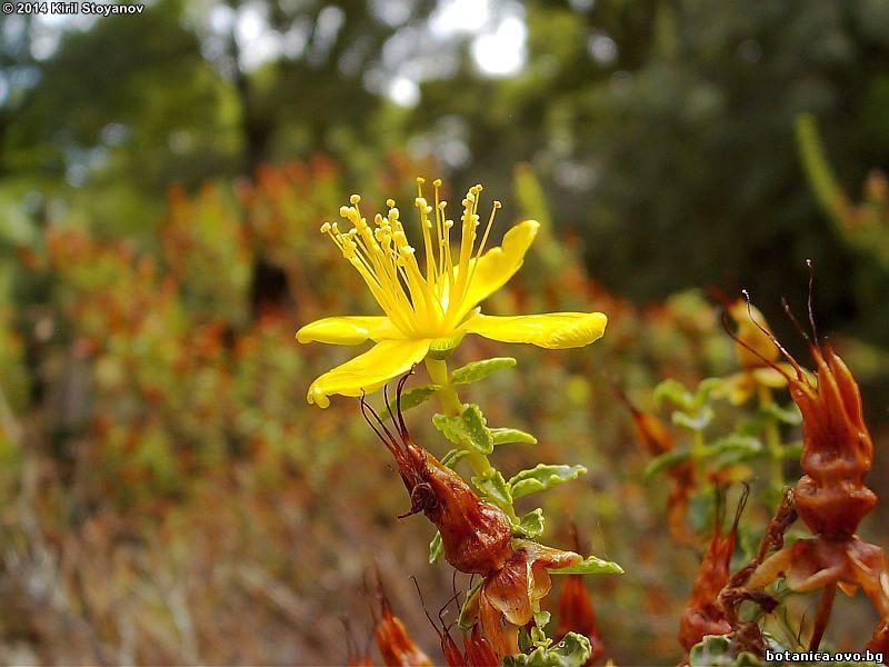 Hypericum balearicum