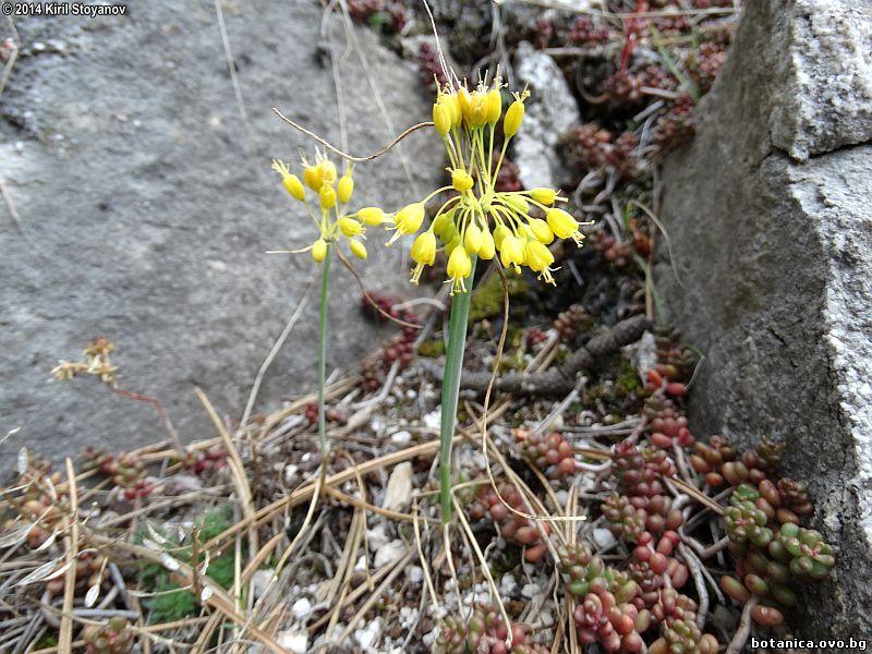 Allium webbii