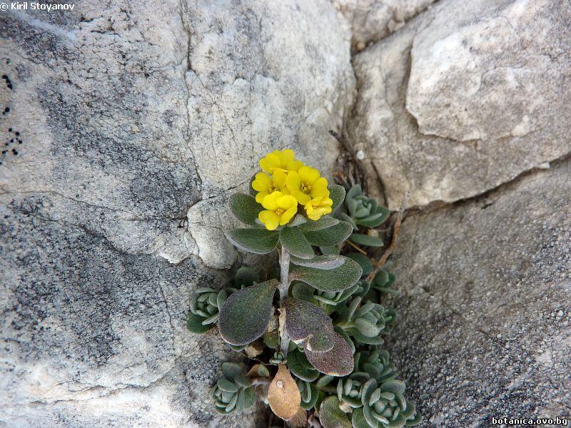 Alyssum cuneifolium