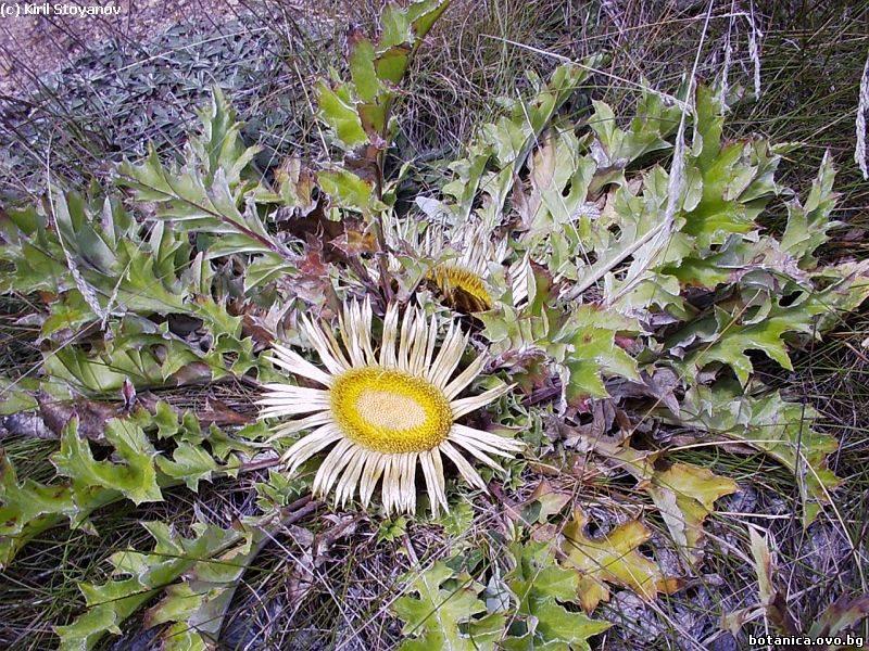 Carlina acanthifolia