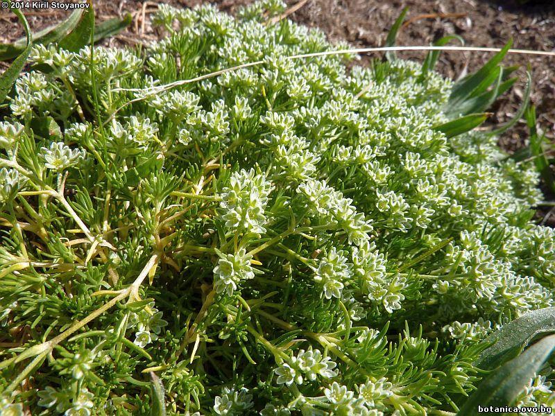 Scleranthus neglectus