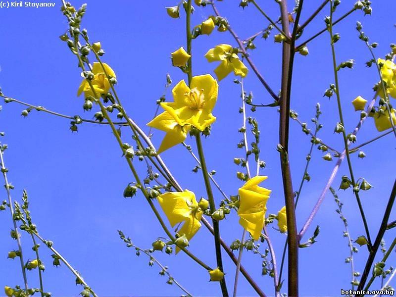 Verbascum nobile