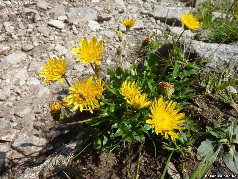 Taraxacum apenninum