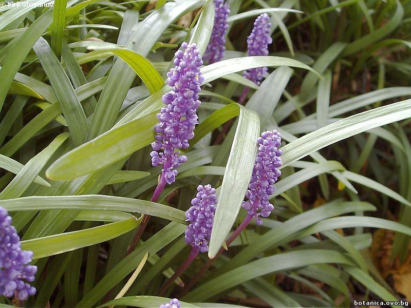 Liriope platiphylla
