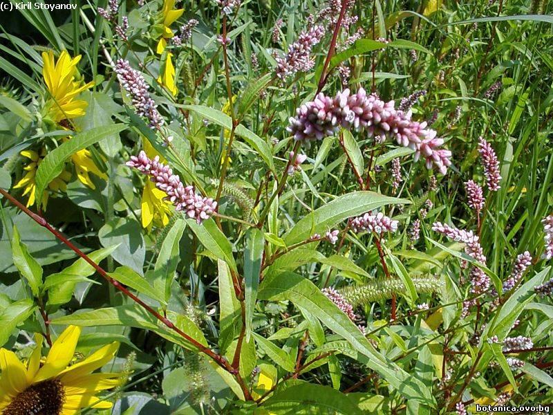 Persicaria lapathifolium