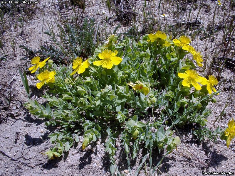 Hypericum cerastioides