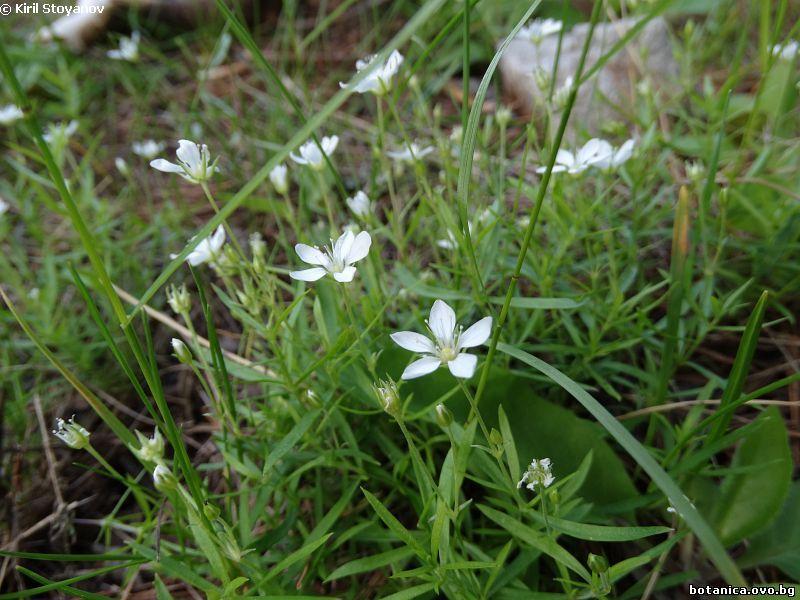 Caryophyllaceae, Moehringia