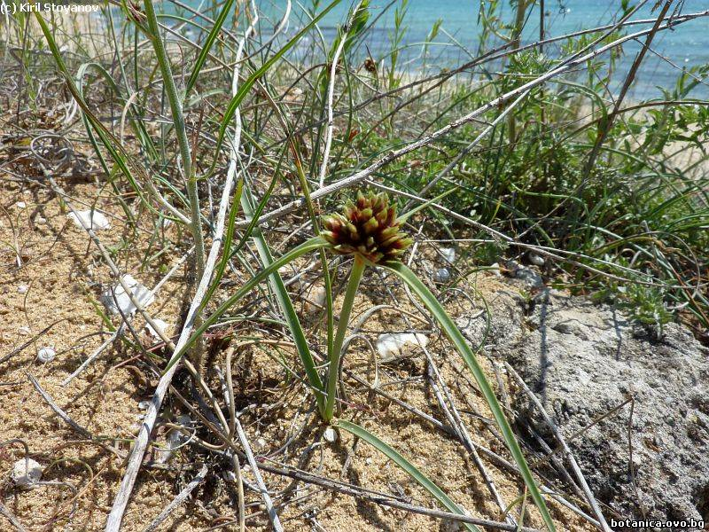 Gallilea mucronata