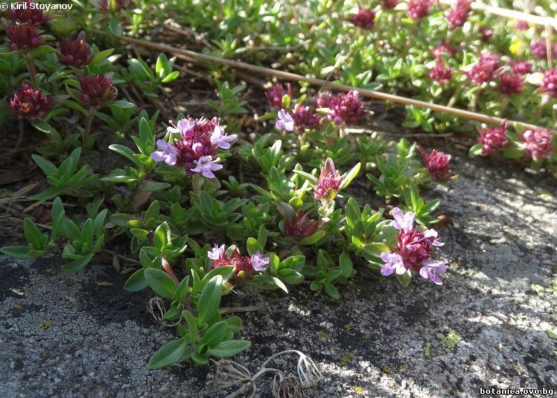 Thymus perinicus