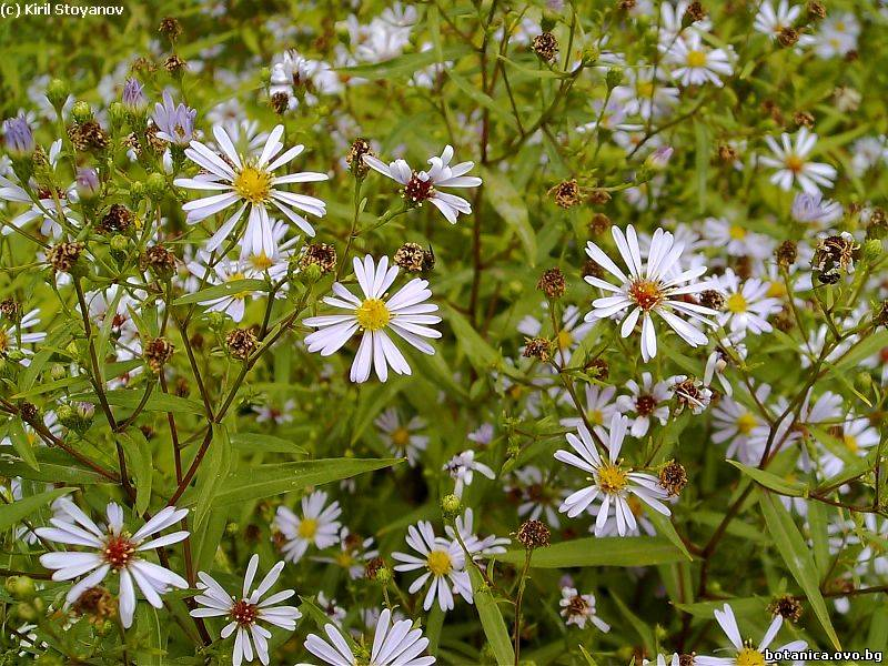 Aster ageratioides