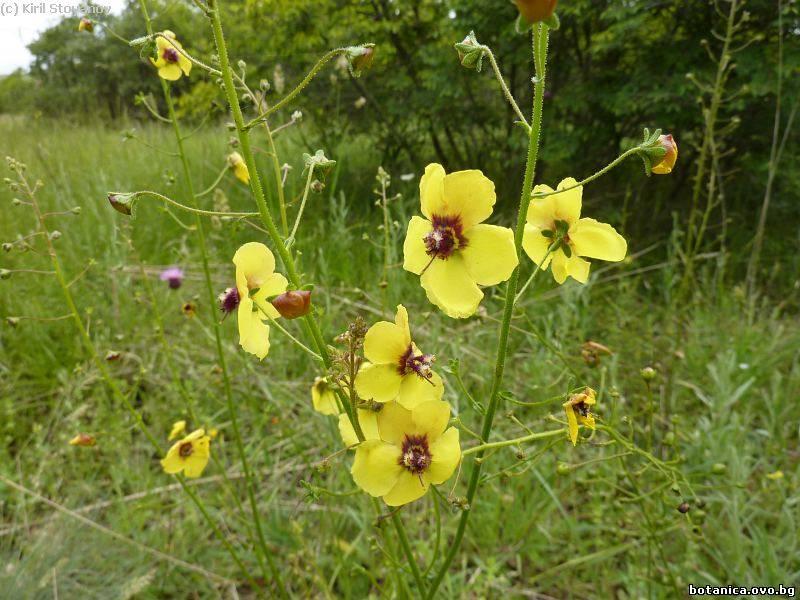 Verbascum adrianopolitanum