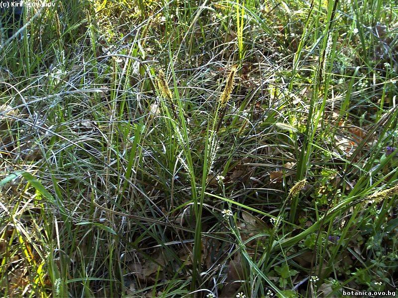 Carex flacca