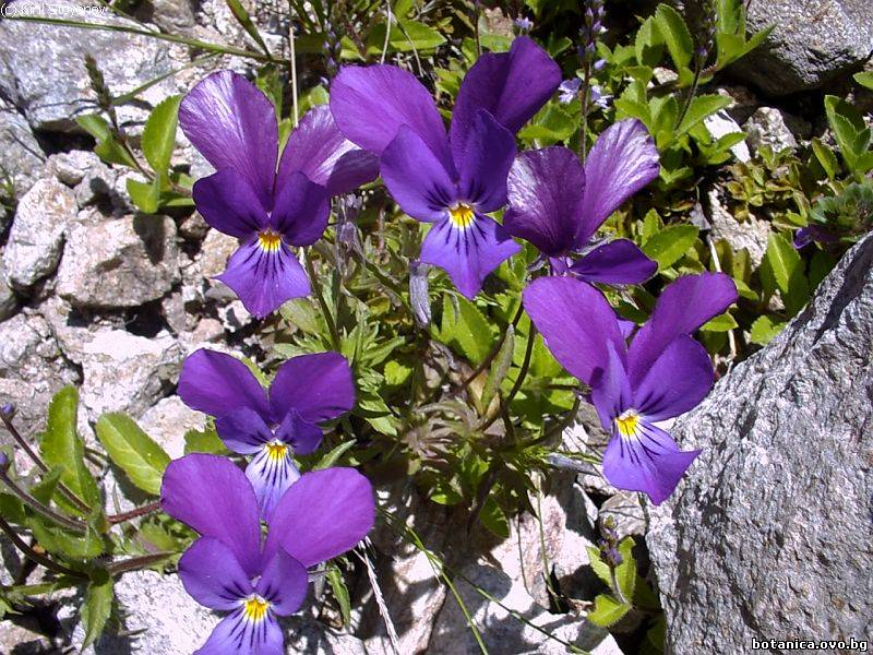 Viola balcanica