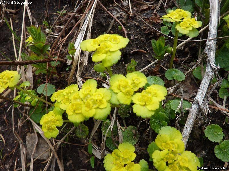 Chrysosplenium alternifolium