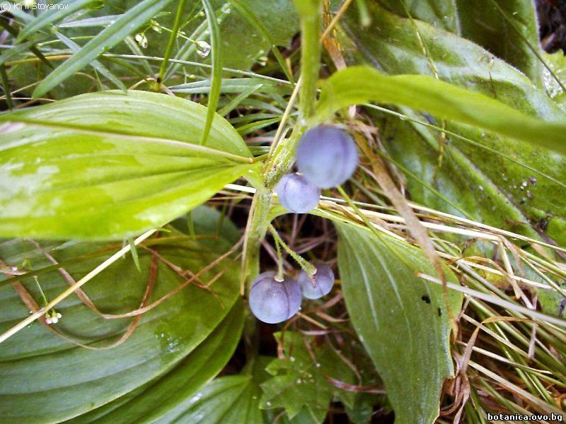 Polygonatum latifolium