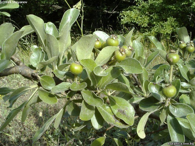 Pyrus bulgarica