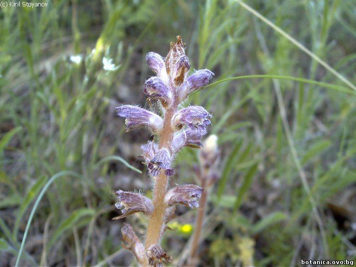 Orobanche pubescens