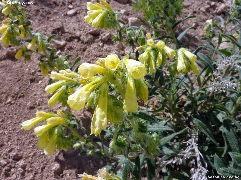 Onosma arenaria