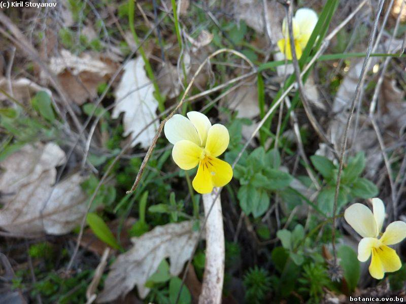 Viola rhodopeia