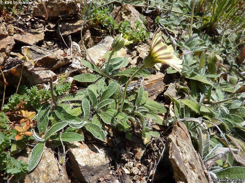 Hieracium hoppeanum