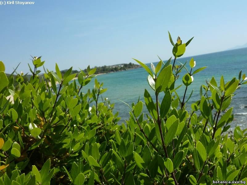 Phyllirea latifolia