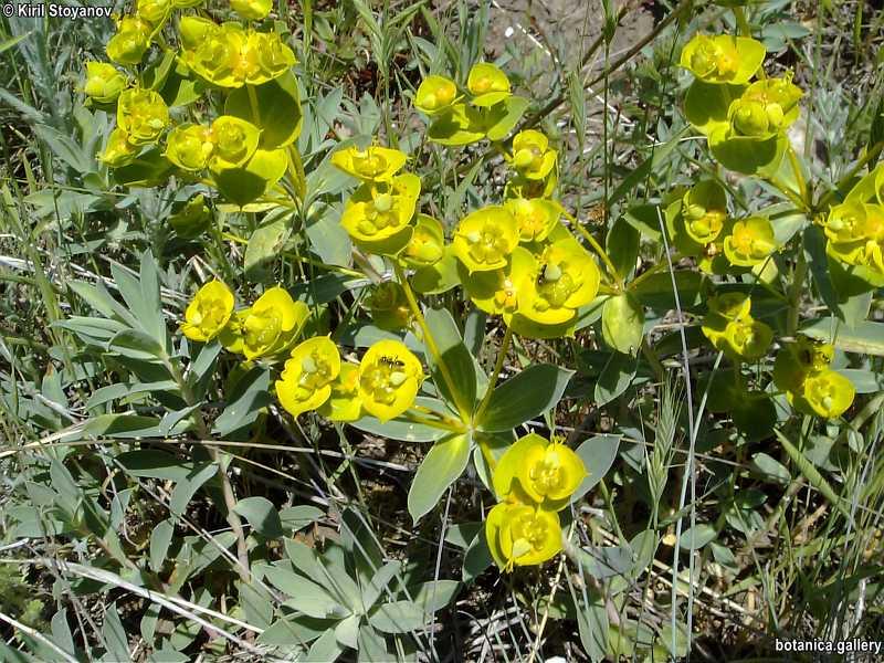 Euphorbia barrelieri