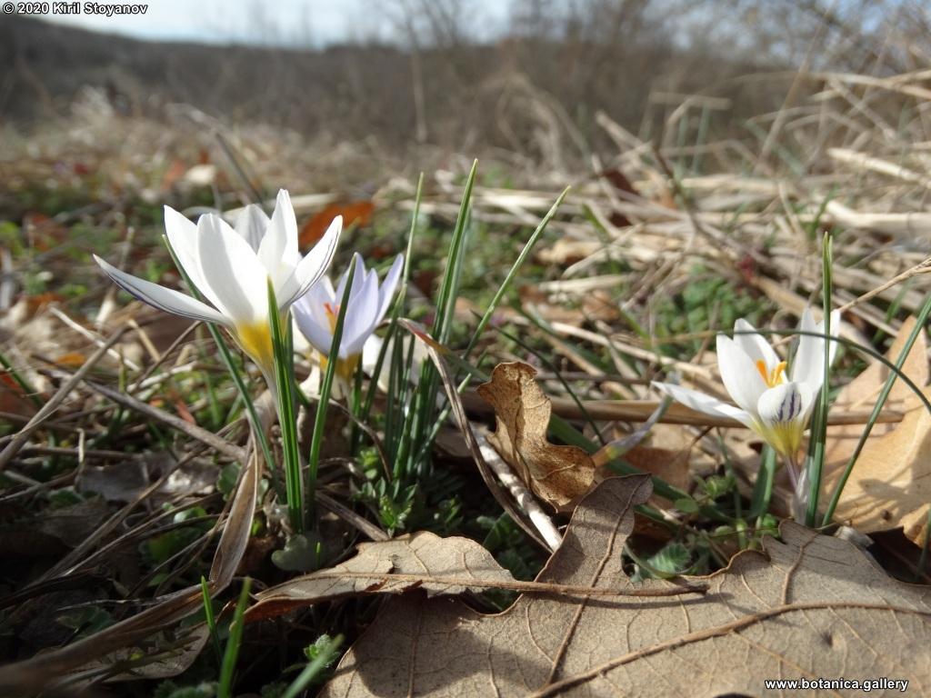 Raycheva, Stoyanov, Naimov, Apostolova-Kuzova, 2021. Crocus adamioides in Bulgarian flora