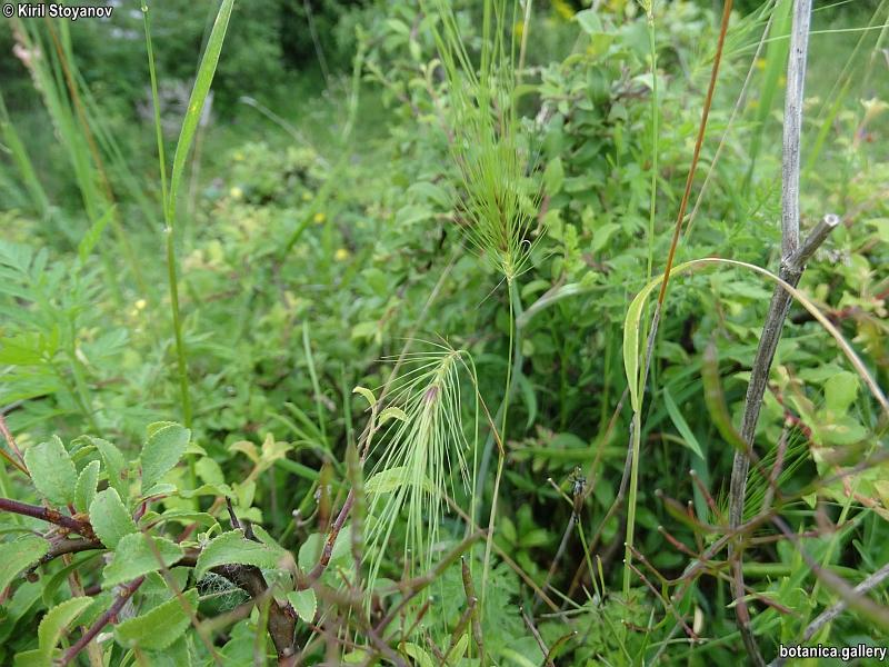 Taeniatherum crinitum