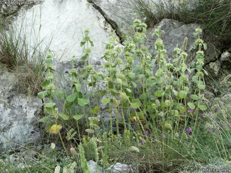 Marrubium frivaldskyanum