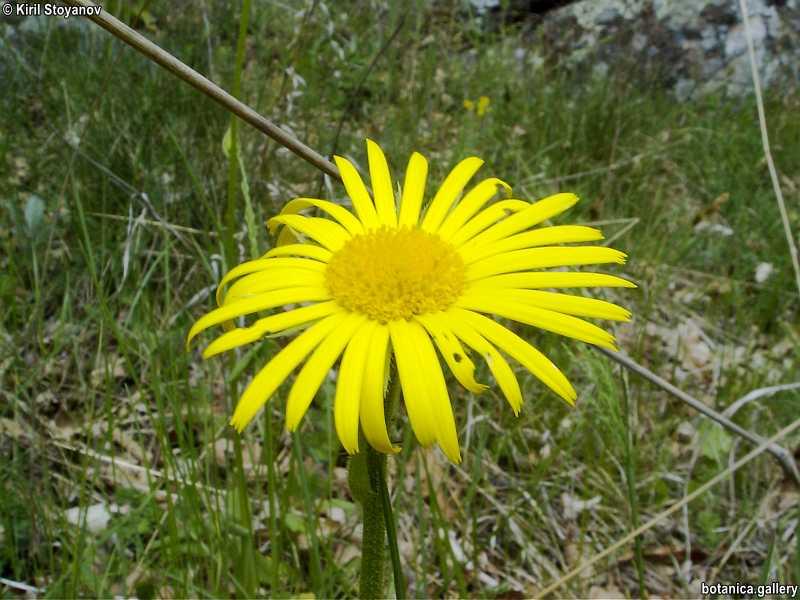 Doronicum hungaricum
