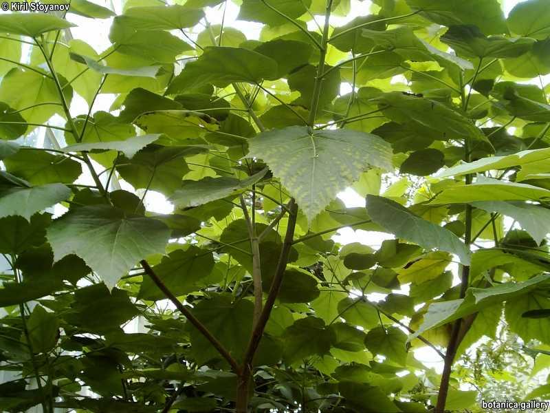Entelea arborescens
