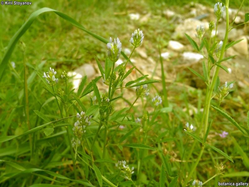 Trigonella procumbens