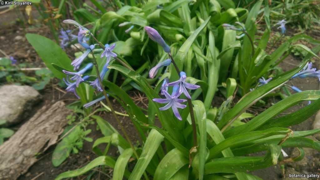 Hyacinthoides non-scritpta