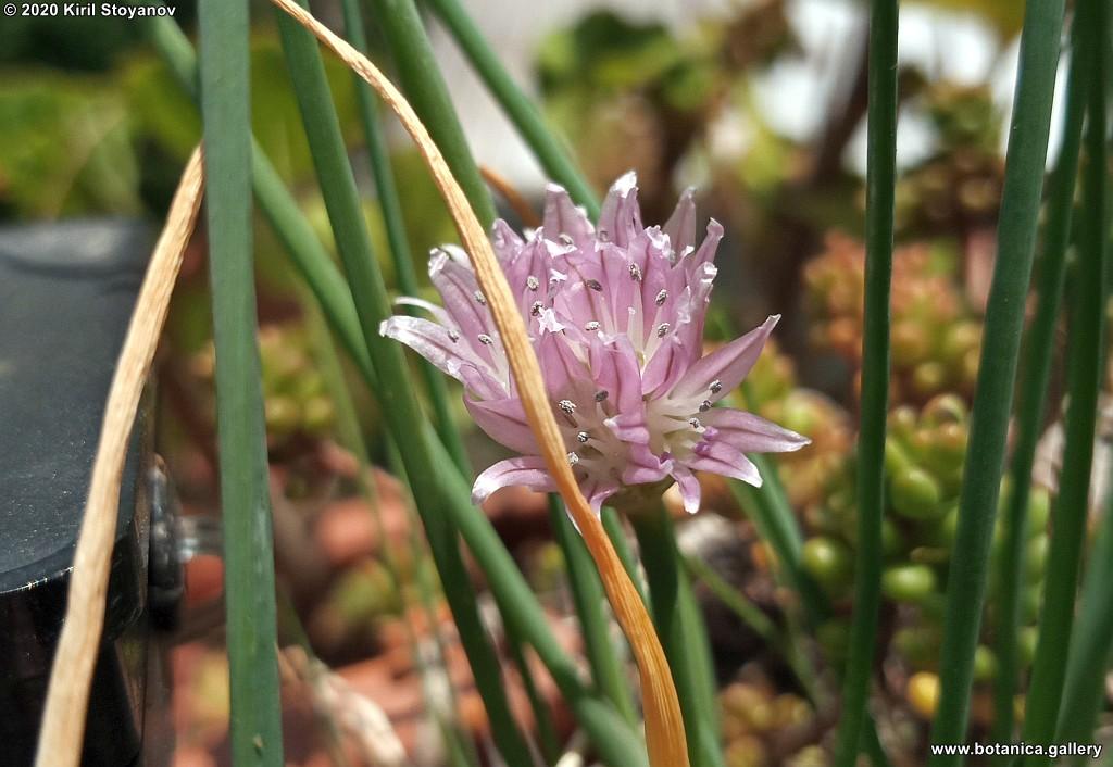 Allium sibiricum