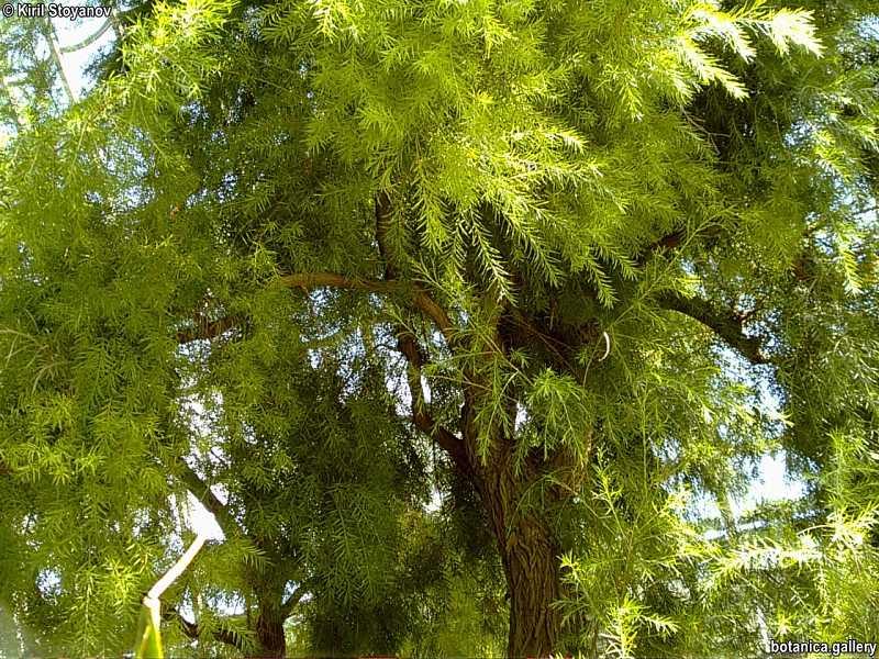 Melaleuca ericifolia