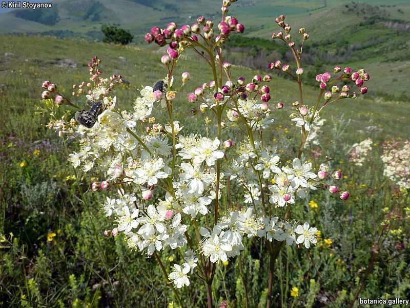 Filipendula vulgaris