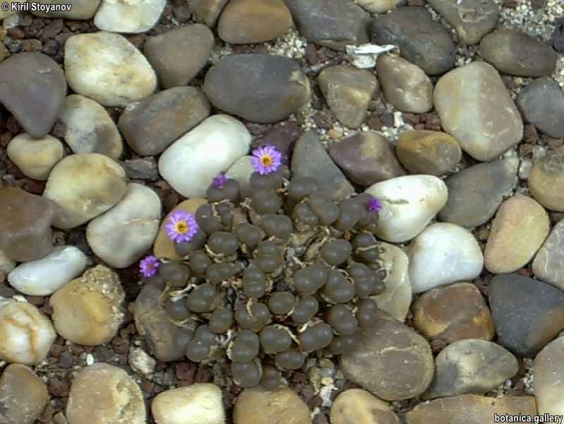 Conophytum lithopoides