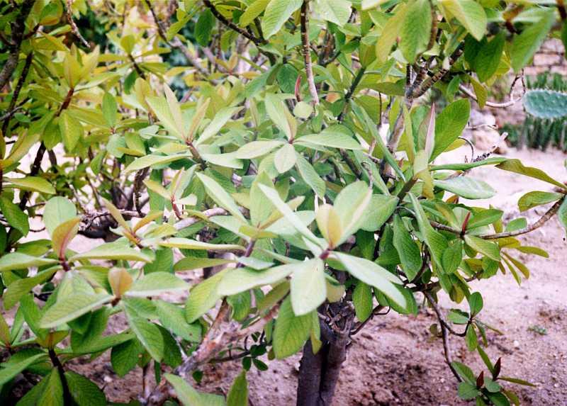 Synadenium grantii