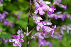 Viscaria vulgaris