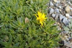 Aizoaceae: Delosperma congestum