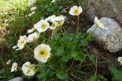 Ranunculus crenatus