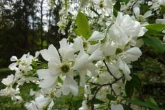 Exochorda grandiflora