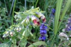 Cerinthe glabra subsp. pirinica