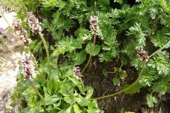 Plantago gentianoides